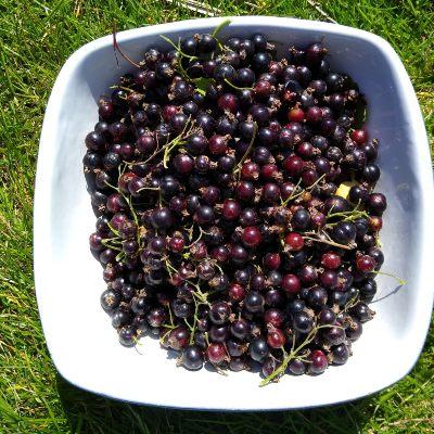 growing-fruit-in-orkney