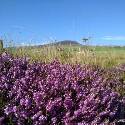 purple-heather-orkney-islands