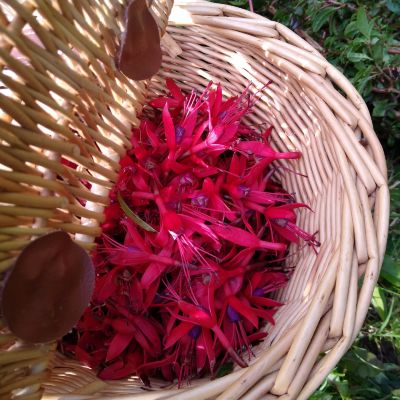 fuchsia-as-a-natural-dye