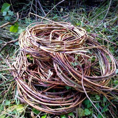gathering-honeysuckle-vine-for-basket-making