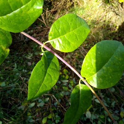 honeysuckle-vine