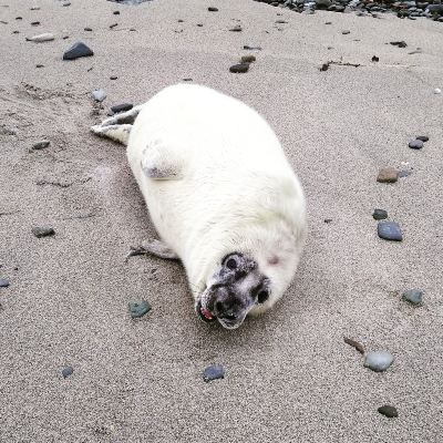 seal-pups-in-orkney