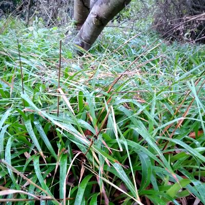 great-wood-rush-as--fibre-for-basketry