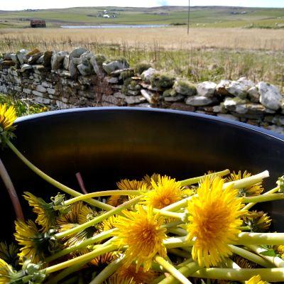 foraging-for-dandelions