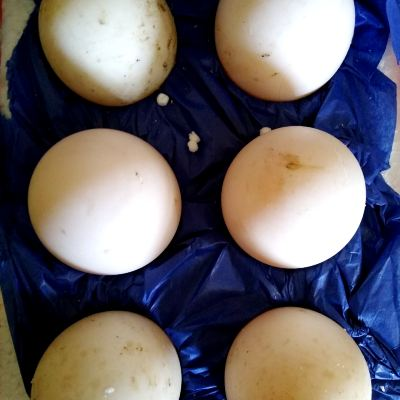 hatching-ducklings-for-the-first-time