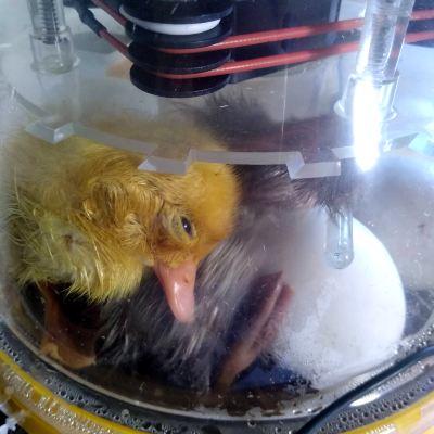 hatching-ducks