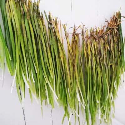 drying-daffodil-leaves-for-basketry