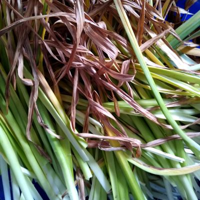 using-daffodil-leaves-for-basketry
