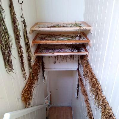 drying-dandelion-stems-for-weaving