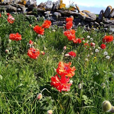 poppies-in-the-orkney-islands