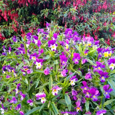 growing-wild-pansies