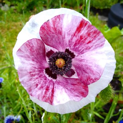 growing-poppies